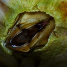 Amphibalanus (- Balanus) amphitrite (Darwin, 1854) - Biofaces ...